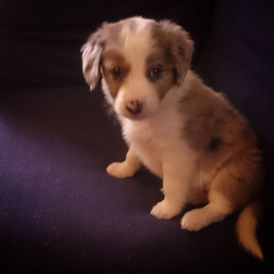 Milly @ 7 weeks Border Collie Mix Puppy❤ BabyPet Dog Pets Puppy