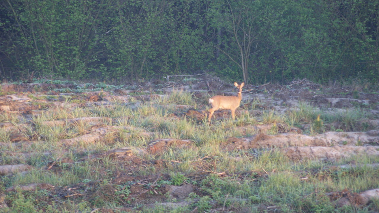 Animal Themes Animal Wildlife Animals In The Wild Beauty In Nature Day Field Forest Mammal Nature No People One Animal Outdoors Poland Roe Deer Tree