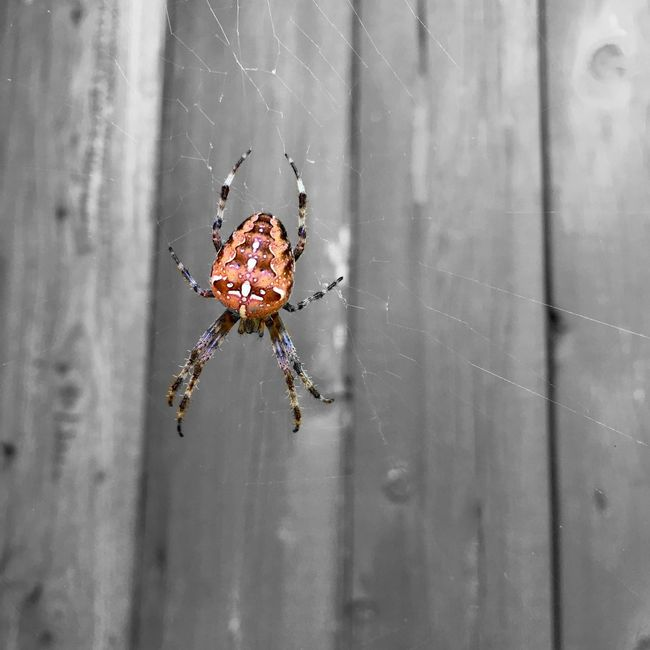 Cross spider Animal Themes Animals In The Wild Beauty Beauty In Nature Close-up Cross Cross Spider Day Focus On Foreground Fragility Insect Nature No People One Animal Red Spider Spider Web Spiderweb Weathered Web Wildlife
