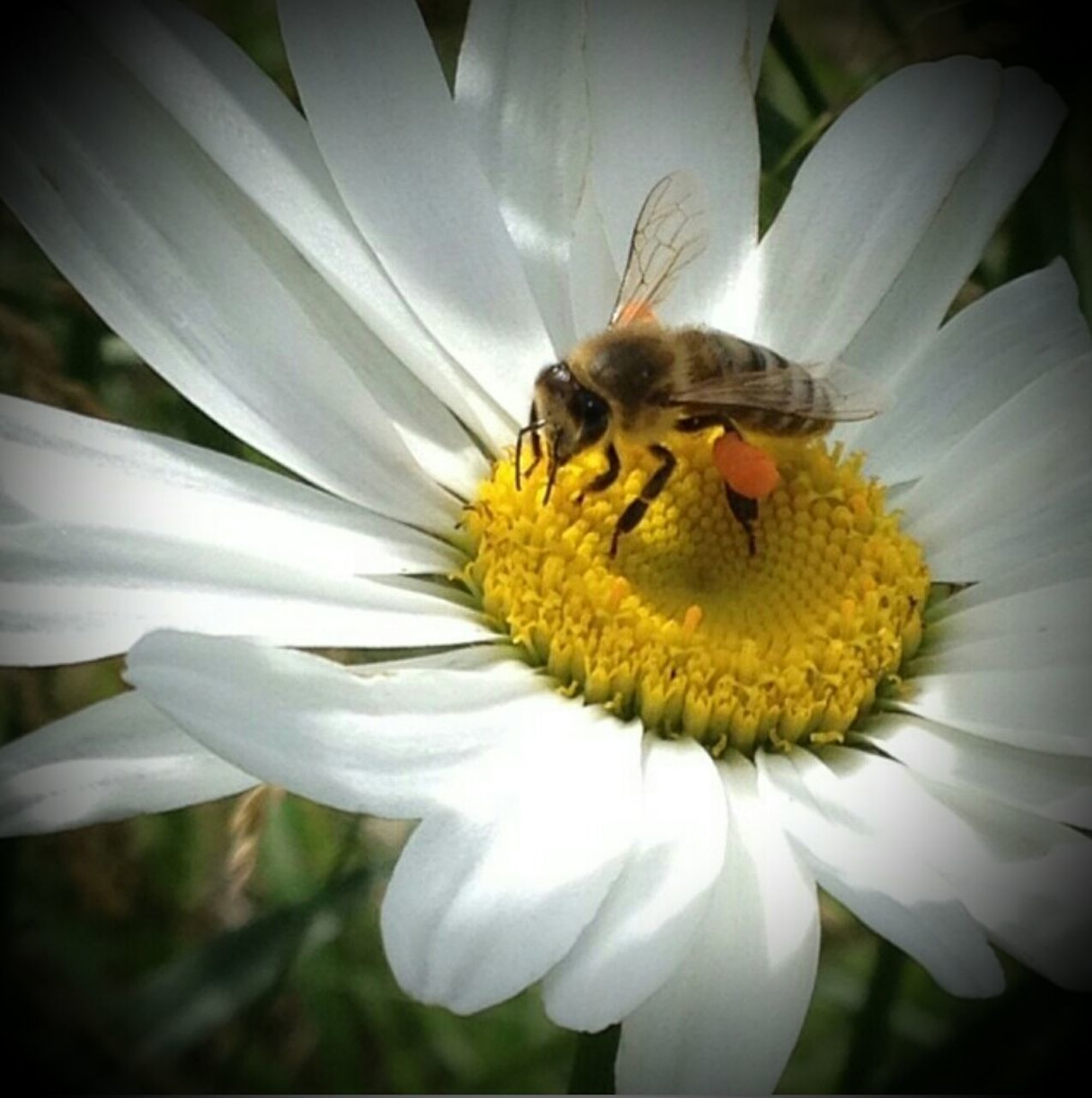 High Angle View Of Honeybee On Daisy