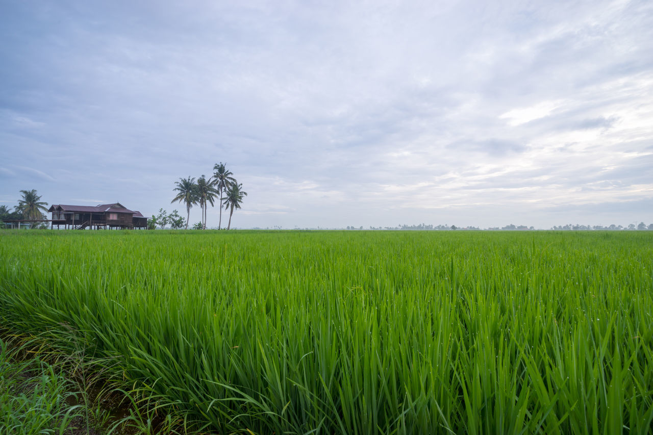 Green rice fields in Sungai Besar - well known as one of the major rice supplier in Malaysia. Agriculture Beauty In Nature Blue Cloud Countryside Crop  Day Farm Field Grass Green Green Color Growth Horizon Over Land Landscape Majestic Nature Outdoors Rural Scene Scenics Sky Solitude Surface Level Tranquil Scene Tranquility