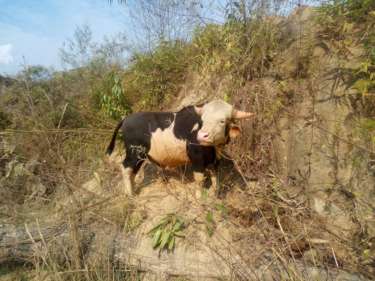 domestic animals, animal themes, cow, one animal, mammal, cattle, field, livestock, no people, day, grass, nature, outdoors, tree, farm animal, pets, sky