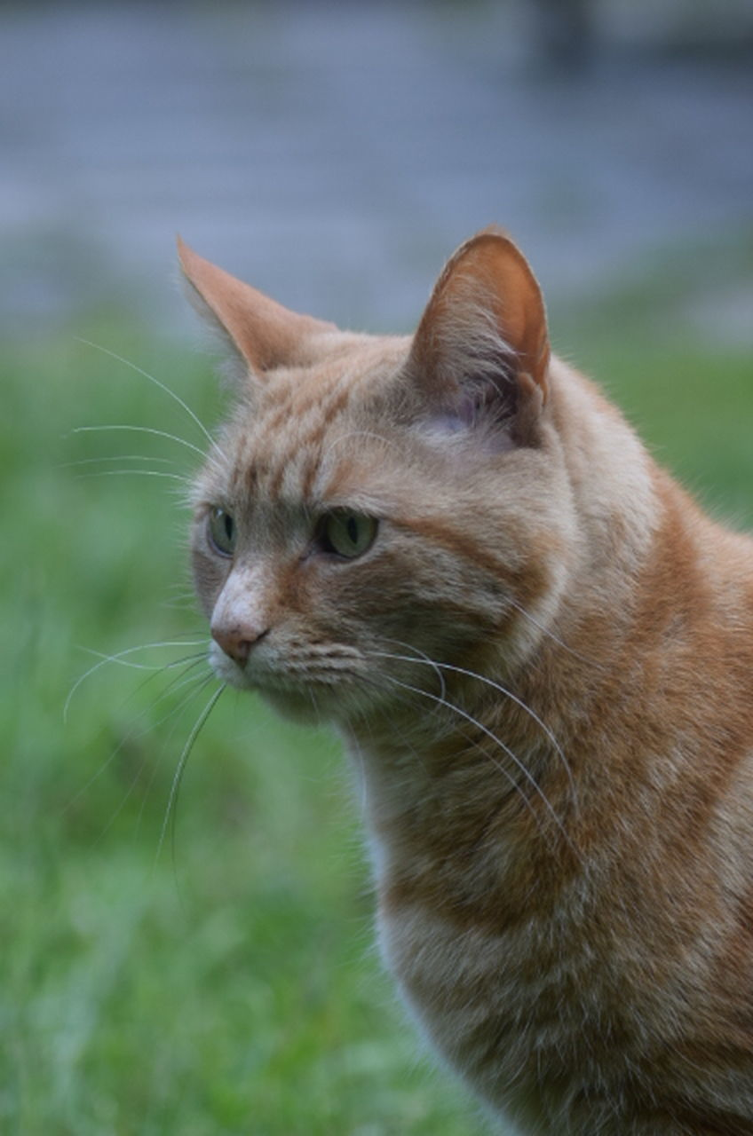 domestic cat, one animal, animal themes, feline, pets, mammal, domestic animals, whisker, cat, focus on foreground, no people, close-up, outdoors, day, grass, nature