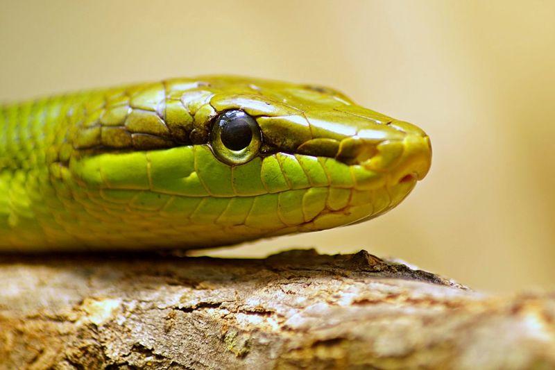 green snake Animal Green Nature Reptile Snake Snake Eye  Snakeface Snakes Wild Wildlife