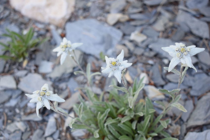Edelweiss Edelweiss Flower Nature Plant Beautifull Edelweiss Flower Fragile Mountain White