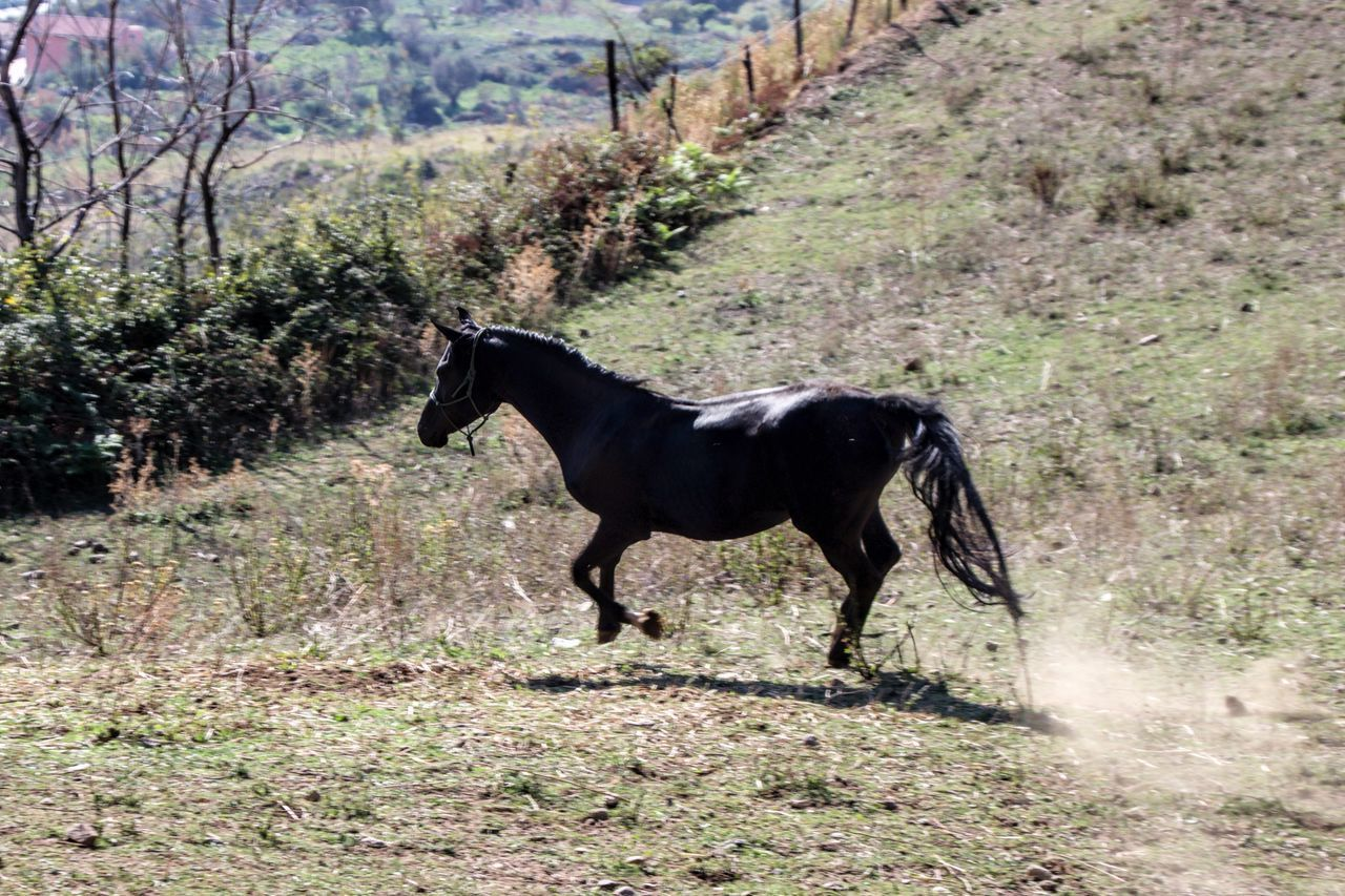 Khalil Arabian Stallion Animal Animal Themes Animals In The Wild Day Domestic Animals Field Grass Mammal Moose Nature No People One Animal Outdoors Pets Side View Tree