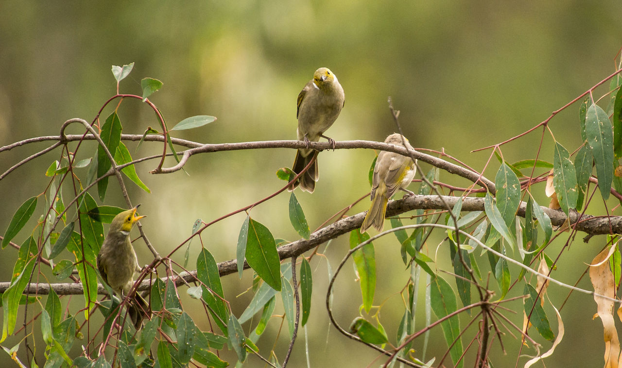 White-plumed Honeyeater (Lichenostomus penicillatus) group playing in the bush by a river Animal Wildlife Animals In The Wild Australian Bush Bird Bird Argument Bird Group Branch Family Of Birds Group Of Birds Honeyeater Lichenostomus Penicillatus Lightroom Cc Native Birds Nature Outdoors Perching Sony Photography Telephoto Tree Wildlife Photography