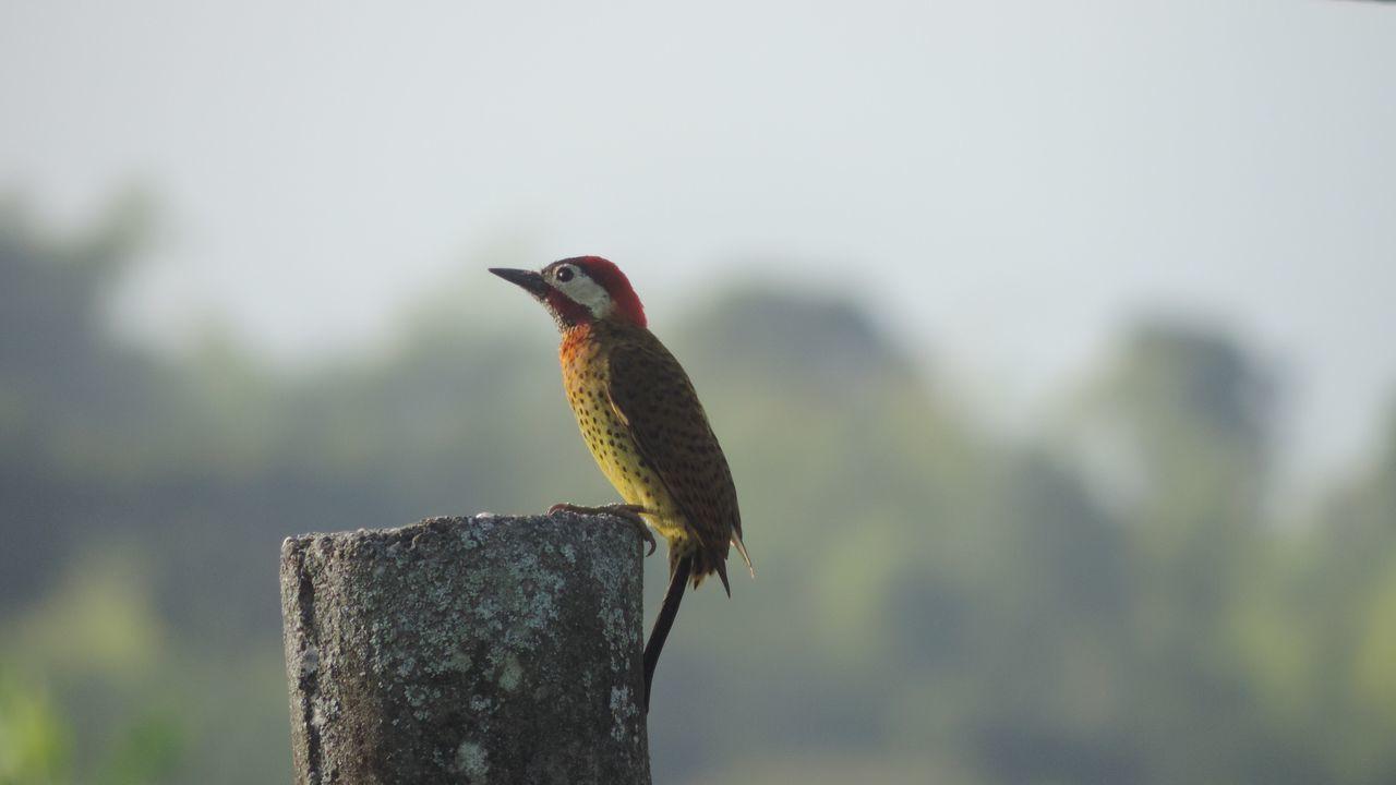 Beautiful stock photos of woodpecker,  Animal Wildlife,  Animals In The Wild,  Beak,  Bird