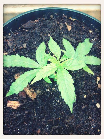 Urban Herbin'