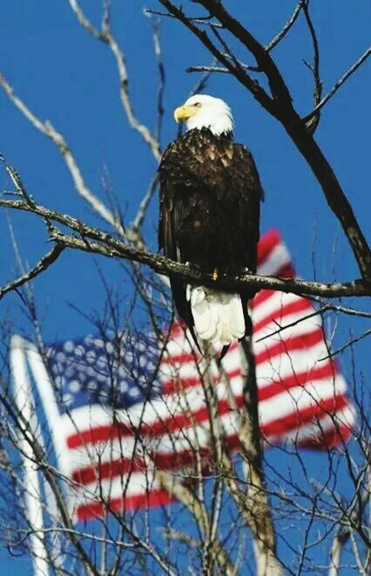 Eagle with the stars and stripes Bald Eagle Stars And Stripes Flag Red White And Blue National Bird Awesome Bird