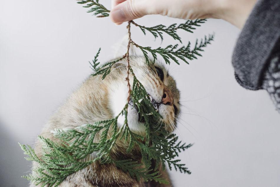 Beautiful stock photos of weihnachtsbaum,  Biting,  Branch,  Cat,  Close-Up