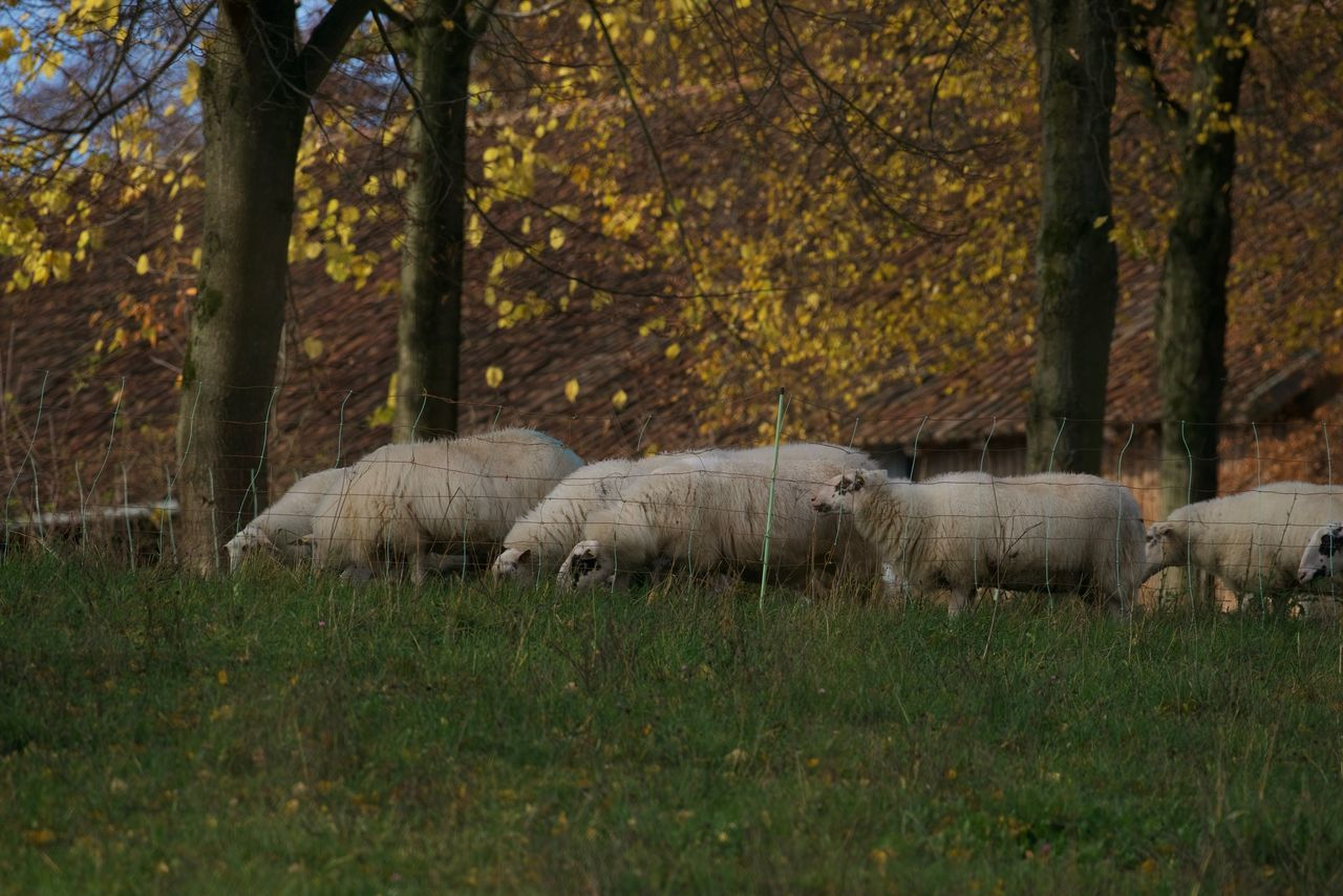 Sheep On Field In Forest During Autumn