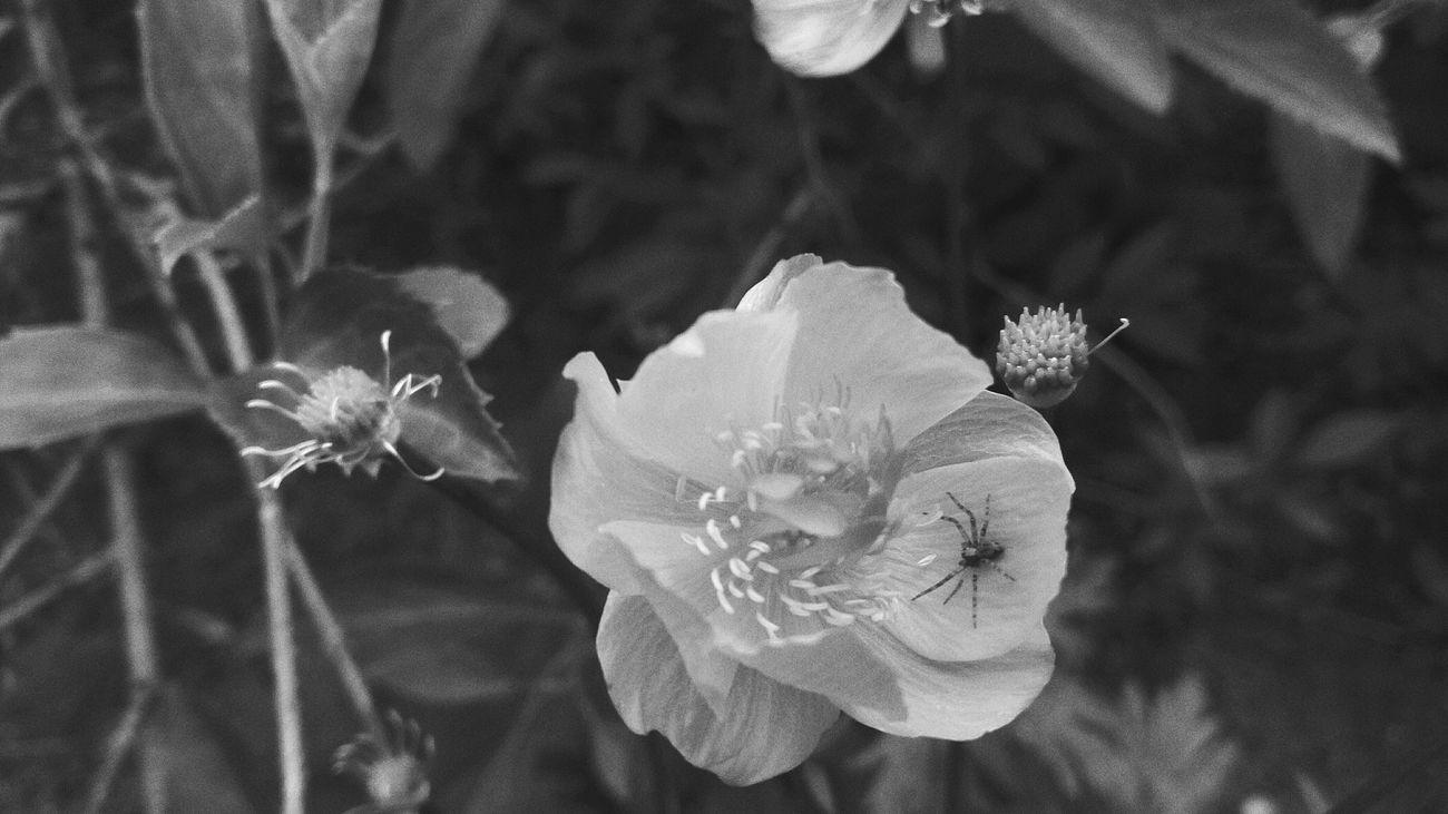 Flower Nature Petal Fragility Beauty In Nature Plant Flower Head Freshness Day Popular Photos One Animal Monochrome Photography Monochrome Blackandwhite Spider