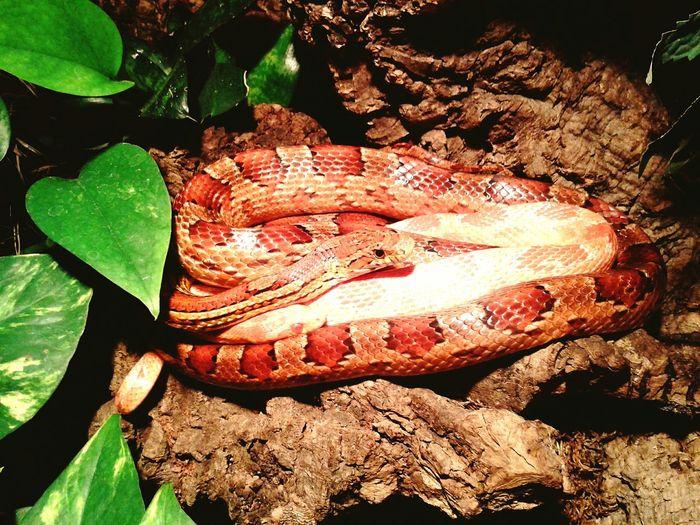 Corn Snake Cornsnake Kornnatter Green Wood Terrarium Vivarium Pattern Snake Snakes