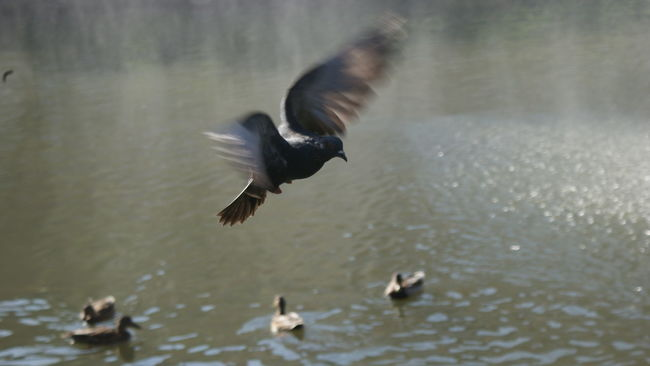One afternoo I cought flying pigeon on my camera and I had success . Little lake in the centre of the city Mariánské Lázně in Czech Republic. Animal Animal Themes Bird Dusk Flock Of Birds Flying Little Lady  Little Lake Mid-air Nature One Animal Pigeon Spread Wings