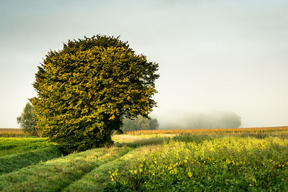 Fog Foggy Foggy Morning Freshness Grass Grassland Green Color Growth Nature Nature Photography Nature_collection Nature_perfection Naturephotography Sunlight Sunrise Sunrise_Collection Sunrise_sunsets_aroundworld Tranquil Scene Tranquility Tree