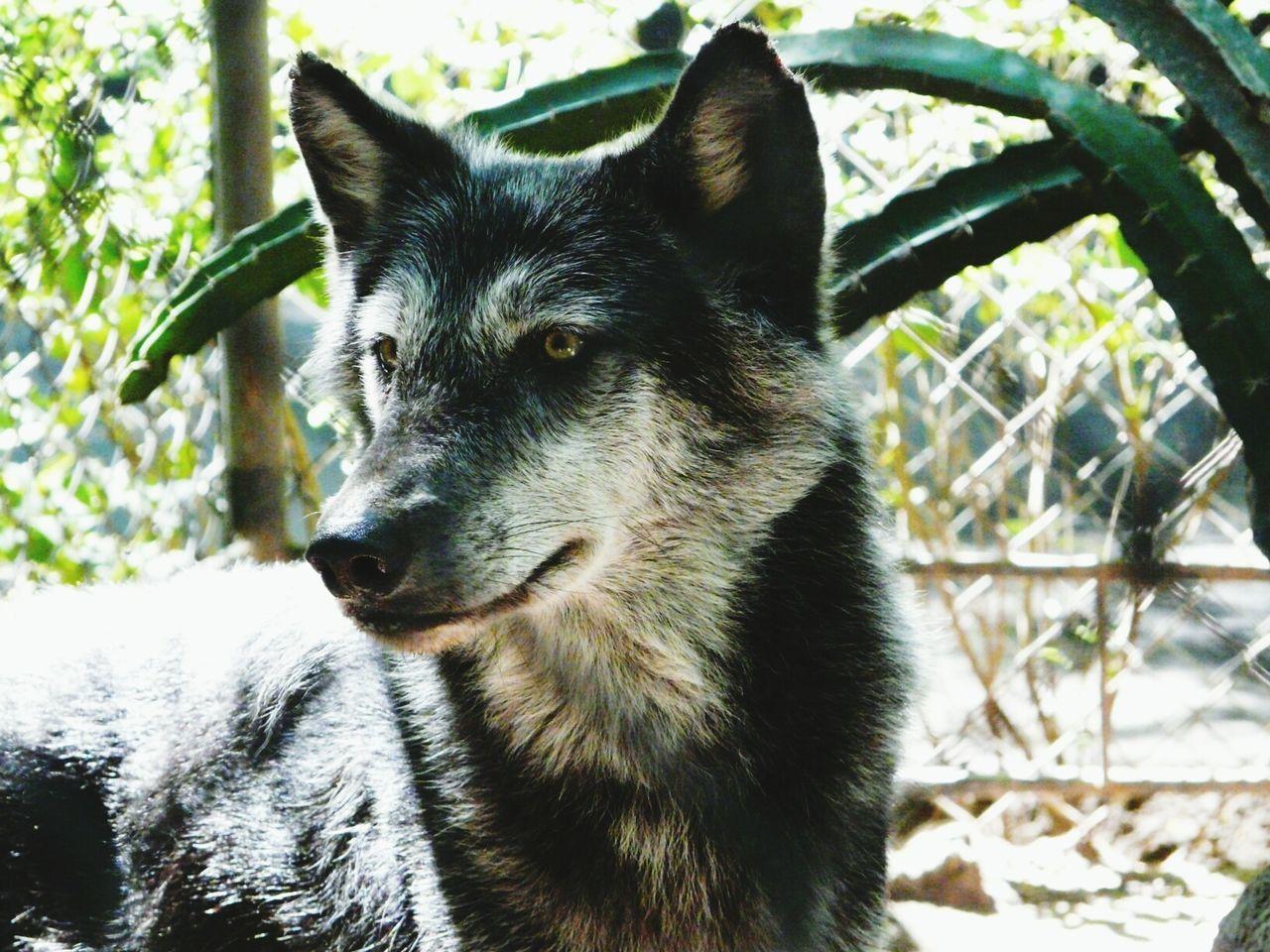 Beautiful stock photos of wolf, Adult Animal, Animal, Animal Body Part, Animal Ear