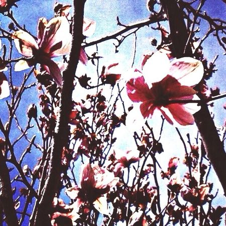 Magnolias Blooming Love Nature_collection Connected With Nature EyeEm Nature Lover My Journey  Beautiful Nature Quality Time Tree Country Living
