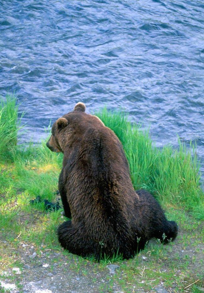 Grizzley Bear Bear Katmai National Park Brooks Falls Alaska Brooks River