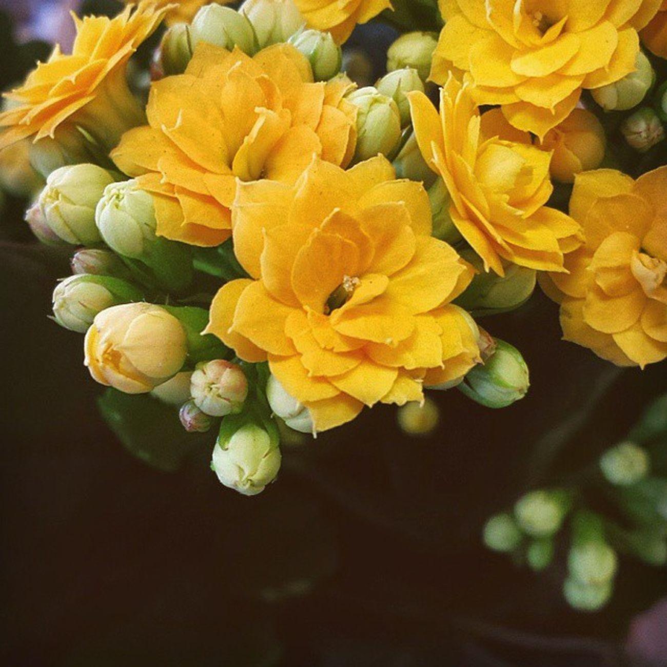 Sunshine bright. Kalanchoe Plants Blooms flowerz nature
