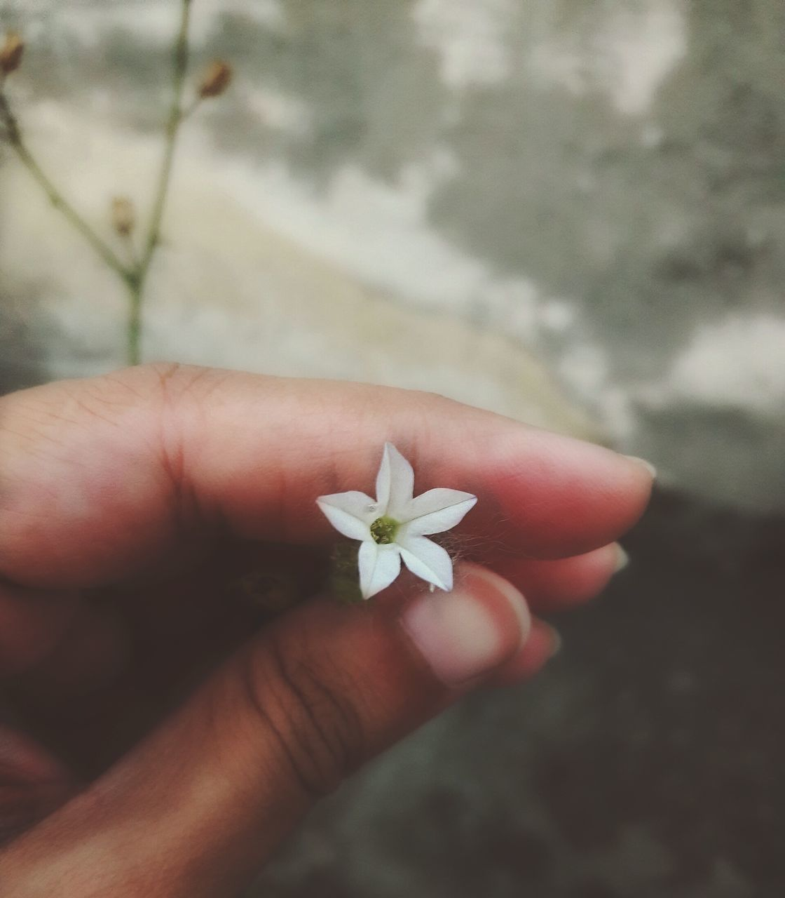 human hand, human body part, flower, one person, human finger, holding, fragility, real people, focus on foreground, day, outdoors, close-up, nature, flower head, beauty in nature, freshness, people