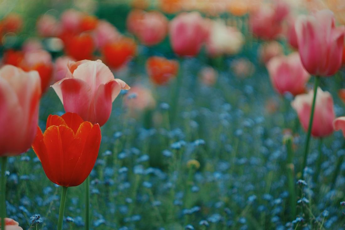 Garden Impressionist Plants Flowers Nature Tulips Giverny France Monet
