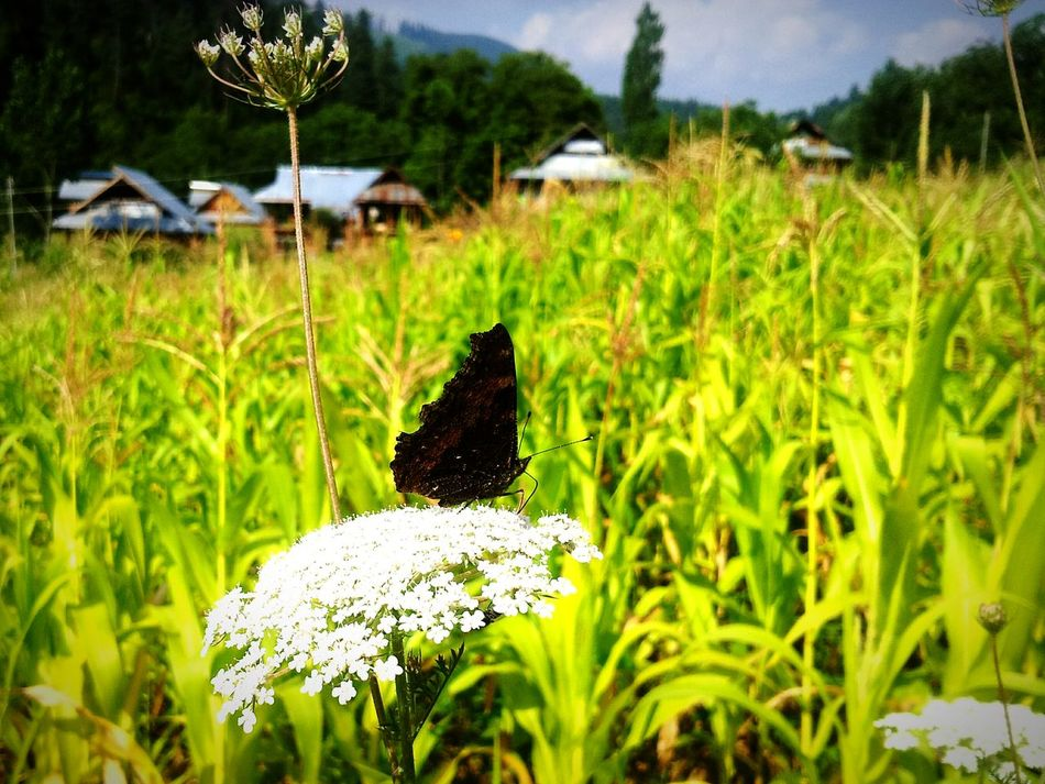 Butterfly Farm Farm Life Countryside Kashmir Kupwara Trees