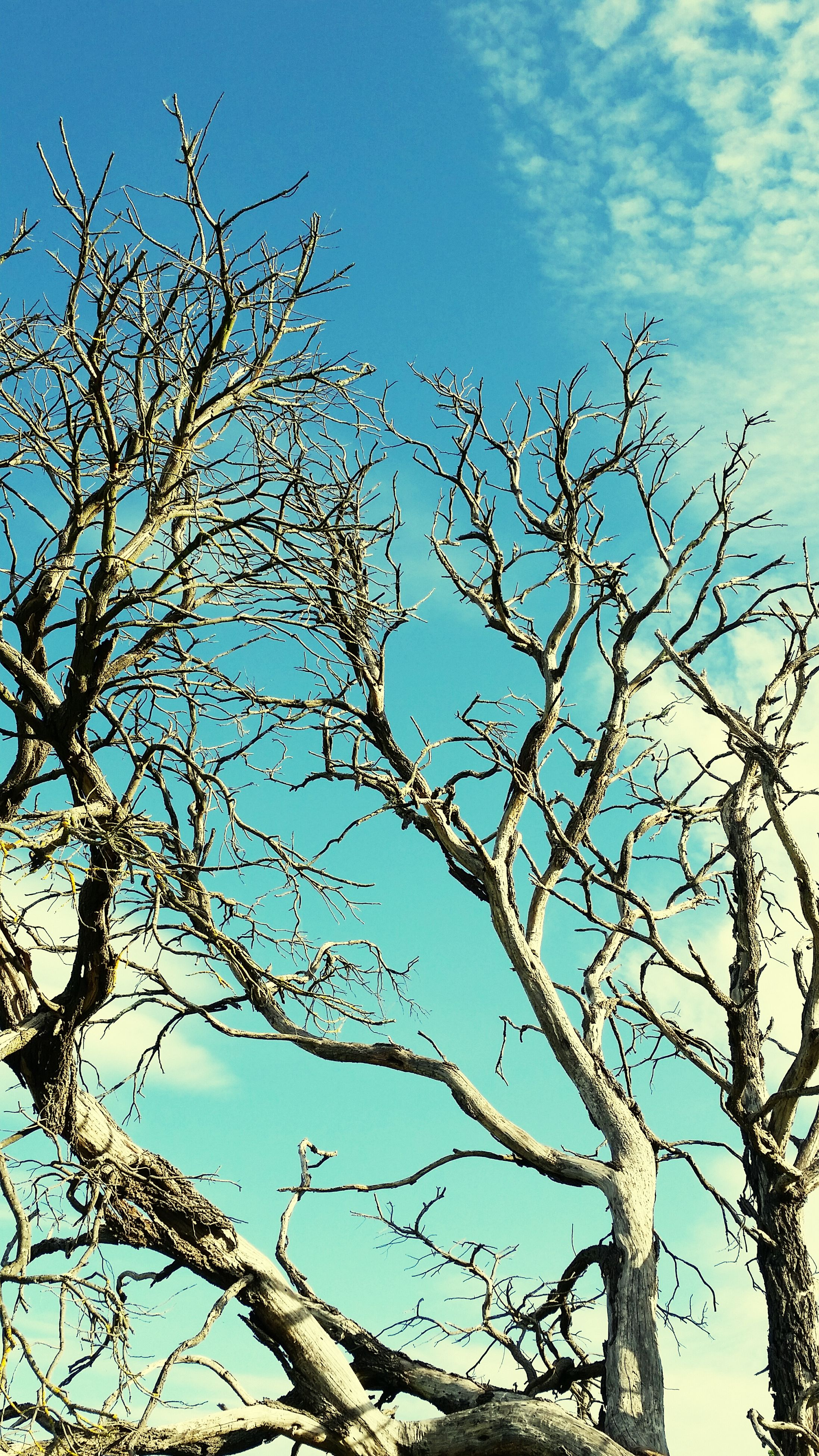 low angle view, bare tree, branch, tree, sky, nature, tranquility, blue, beauty in nature, growth, day, clear sky, outdoors, no people, scenics, cloud - sky, tree trunk, dead plant, cloud, high section