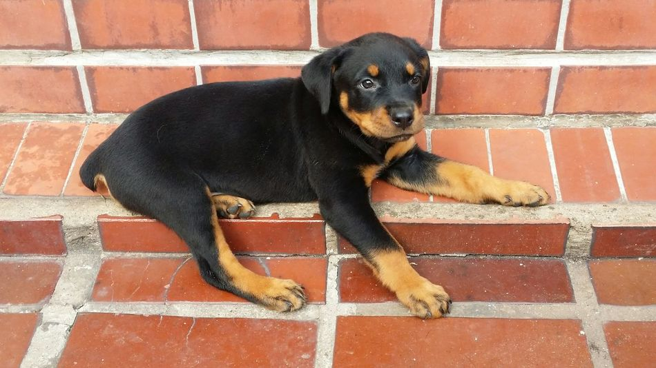 Beautiful stock photos of rottweiler, Adult Animal, Animal Themes, Black Color, Day