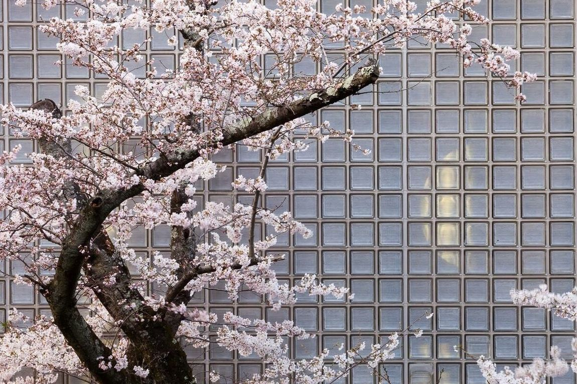 Cherryblossoms,Kyoto Kyoto Traveling Cityscapes Japanese Culture Nature Flower Pattern Flowers Pink