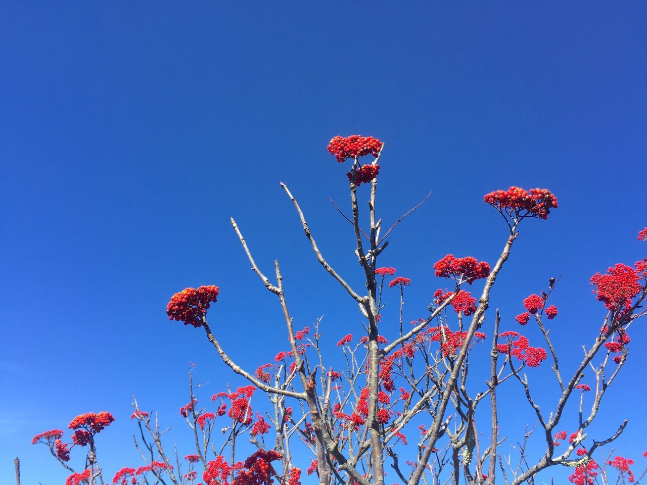 Blue Low Angle View Clear Sky Nature Red No People Beauty In Nature Outdoors Branch Mountain Ash Red Berries Autumn Fall Simplicity High Contrast Red And Blue