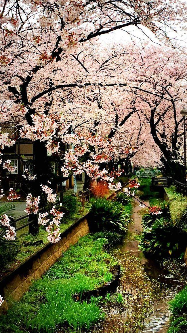 世田谷 吞川親水公園 Cherry Blossoms Spring Springtime Spring Flowers Tokyo Japan Setagaya