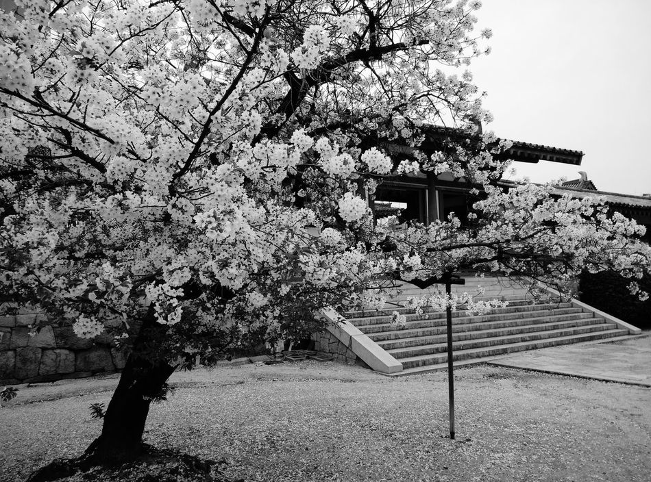 Simply black and white Shitennoji Simply Beautiful Spring Has Arrived Rightplacerighttime Osaka,Japan