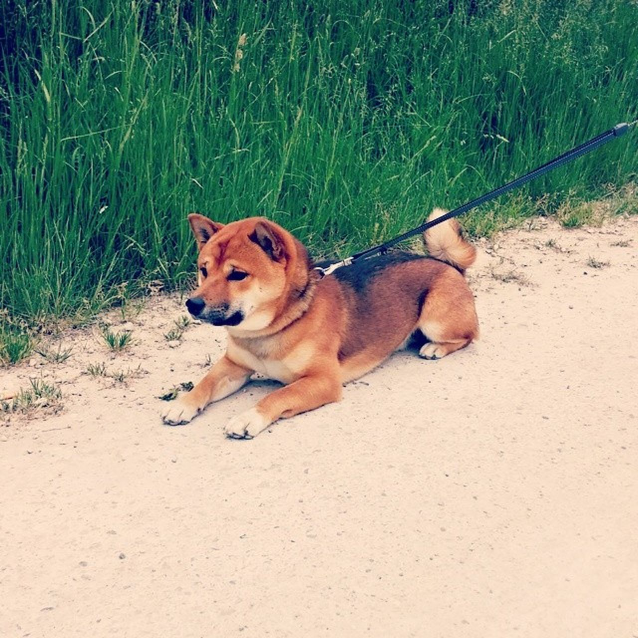 dog, animal themes, pets, domestic animals, mammal, one animal, grass, day, outdoors, no people, nature