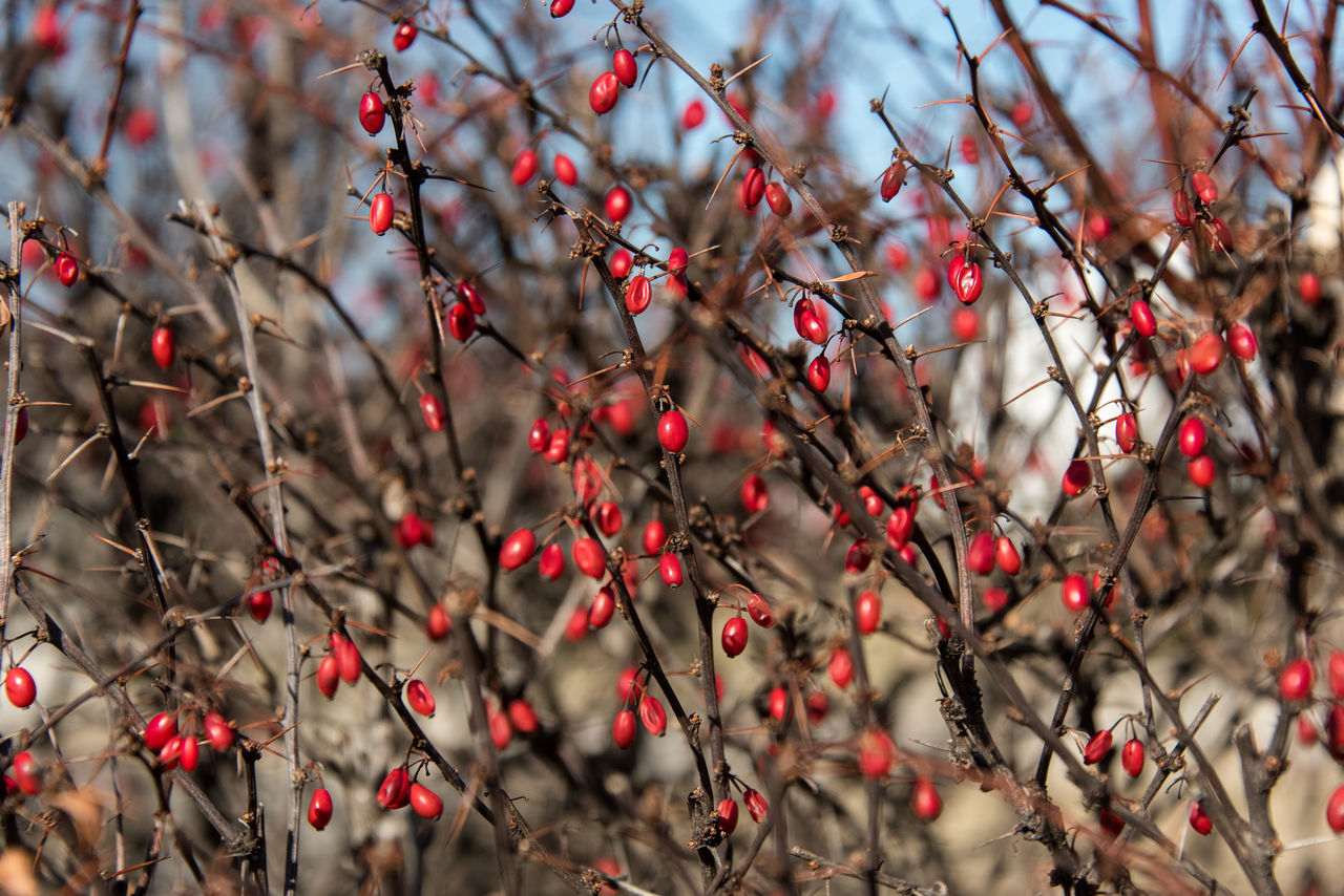 Beauty In Nature Branch Close-up Day Food Food And Drink Freshness Fruit Growth Nature No People Outdoors Red Rose Hip Tree