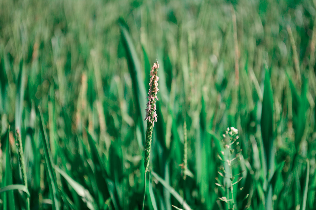 Beauty In Nature Blooming Wheat Close-up Day Field Freshness Grass Green Color Growth Nature No People Outdoors Plant Tranquility Wheat Wheat Field The Great Outdoors - 2017 EyeEm Awards