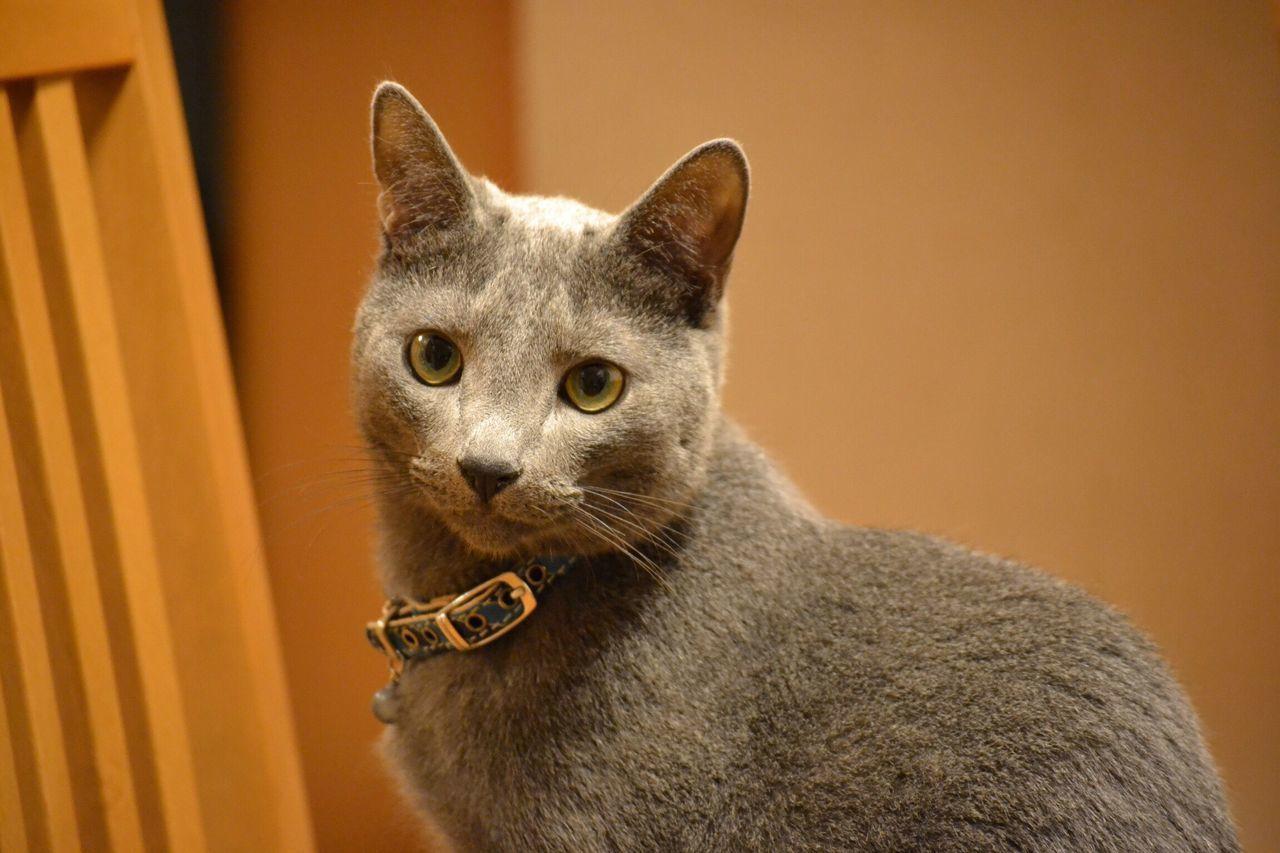 Kitten RussianBlue Cat