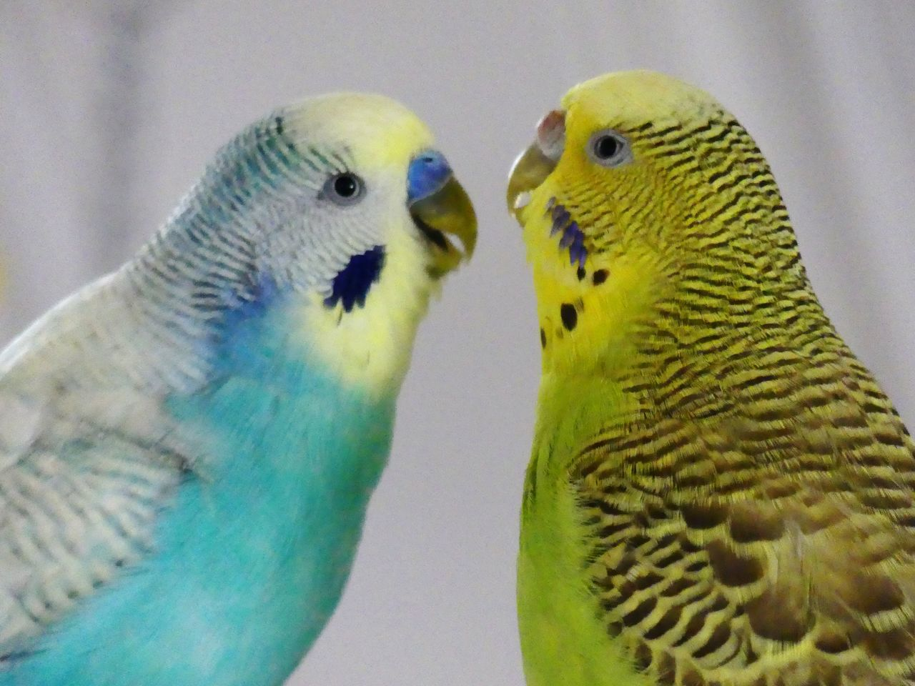 Happy Anímals Life In Motion Life In Colors Loughing Parrot Bird Budgerigar Two Animals Animal Wildlife Affectionate Togetherness Animal Themes Pets Close-up Lovers Birds_collection Animal_collection Posing For The Camera Rainbow Colors Colors