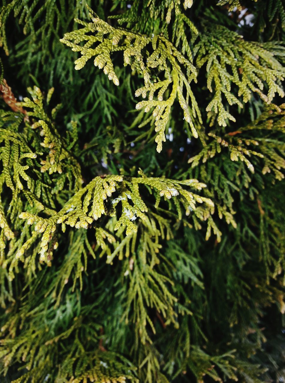 green color, pine tree, nature, no people, growth, close-up, pinaceae, day, plant, focus on foreground, branch, outdoors, beauty in nature, fern, needle, tree, leaf, spruce tree, freshness