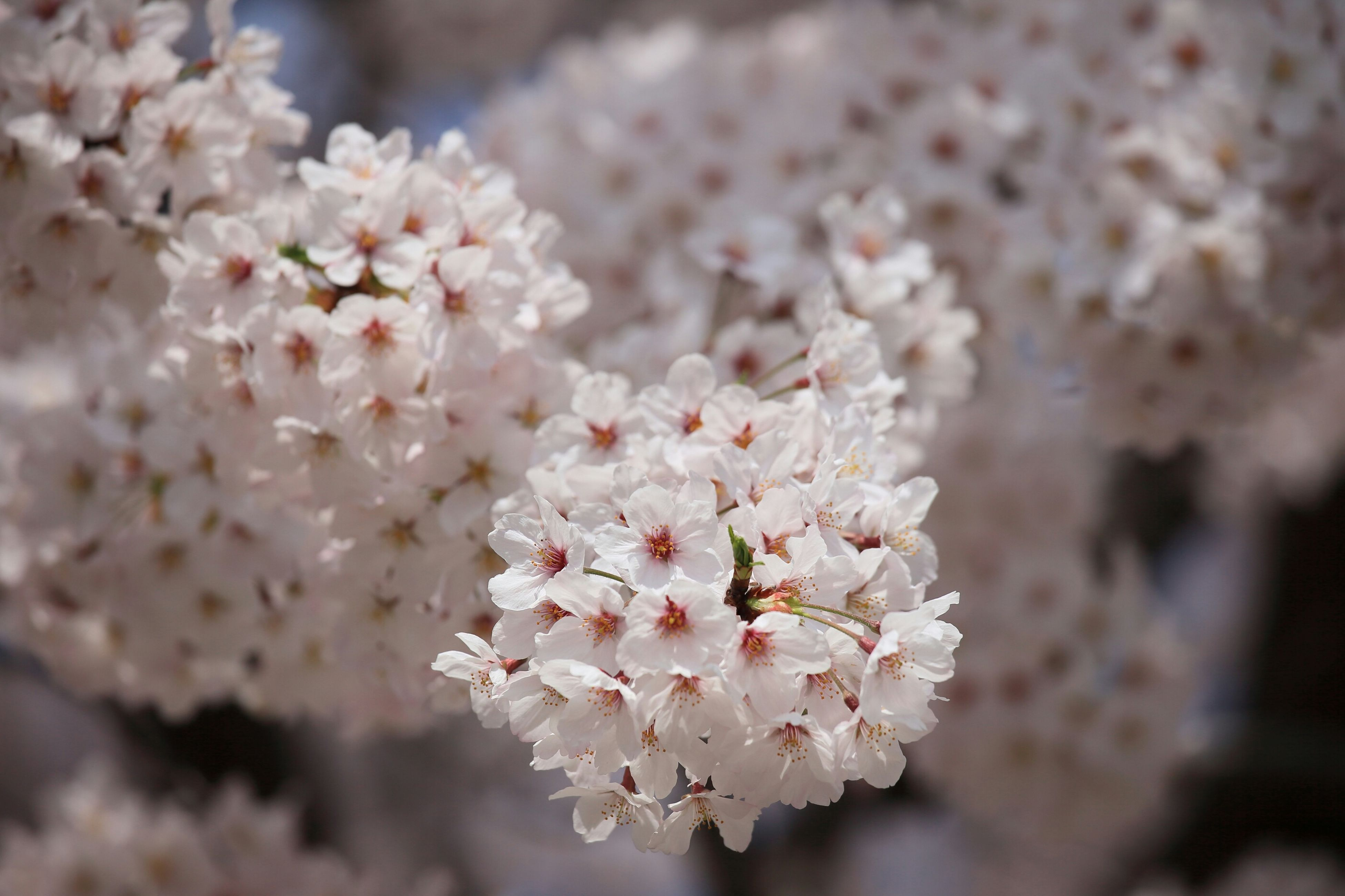 flower, freshness, fragility, growth, cherry blossom, petal, beauty in nature, branch, blossom, focus on foreground, cherry tree, tree, nature, close-up, white color, blooming, flower head, in bloom, springtime, twig
