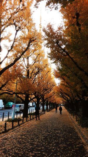 神宮外苑の銀杏並木 Beauty In Nature Tokyo,Japan