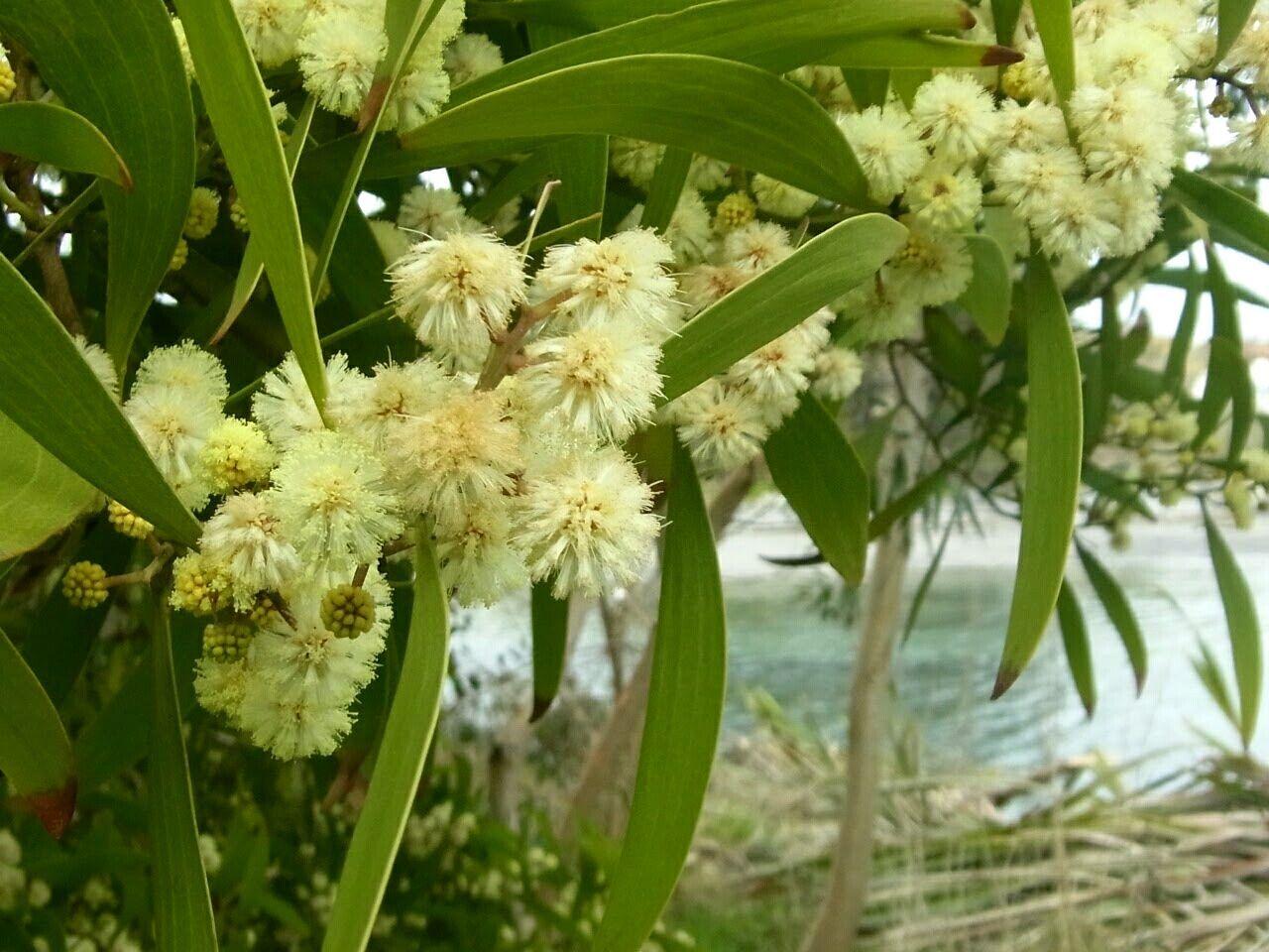 Mimosa blossom Mimosa Garden Oceanside Mild Winters Australian Native Trees Garden Photography Mizen Peninsula West Cork Wildatlanticway Ireland