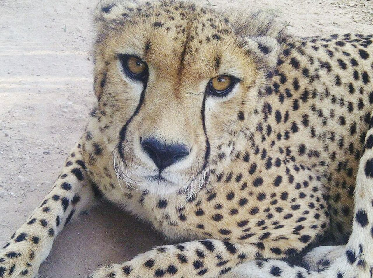 Bigcats Bigcatphotography BigCatLover Prediters Lions Cheetah Lepord Cat