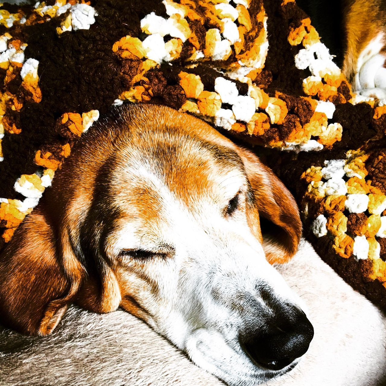 A comfy Cooper Myseniorhound MySweetheart Relaxedand Happy Check This Out That's Me Hanging Out Hello World Cheese! Enjoying Life Myhandsomeboy Chill Mode Posing For The Camera Iphonephotography Bassethounds Bassetphotography Bassetmoments Ilovebassethounds Snuggles