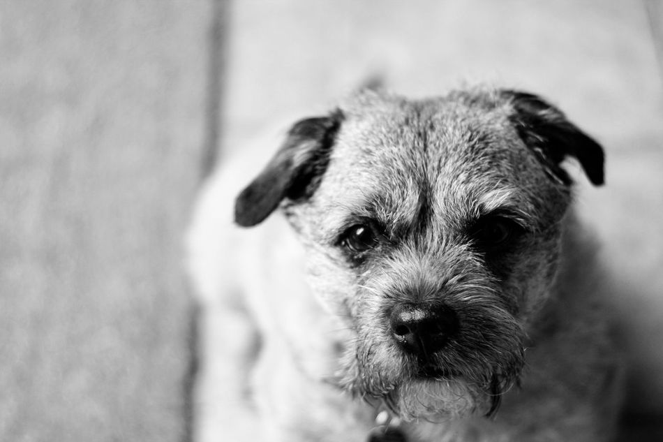 Dog Pets Domestic Animals One Animal Mammal Animal Themes Puppy No People Portrait Indoors  Close-up Day Canon Leeds, UK Blackandwhite Boarder Dogs Terrier Dogs Of EyeEm Dog❤