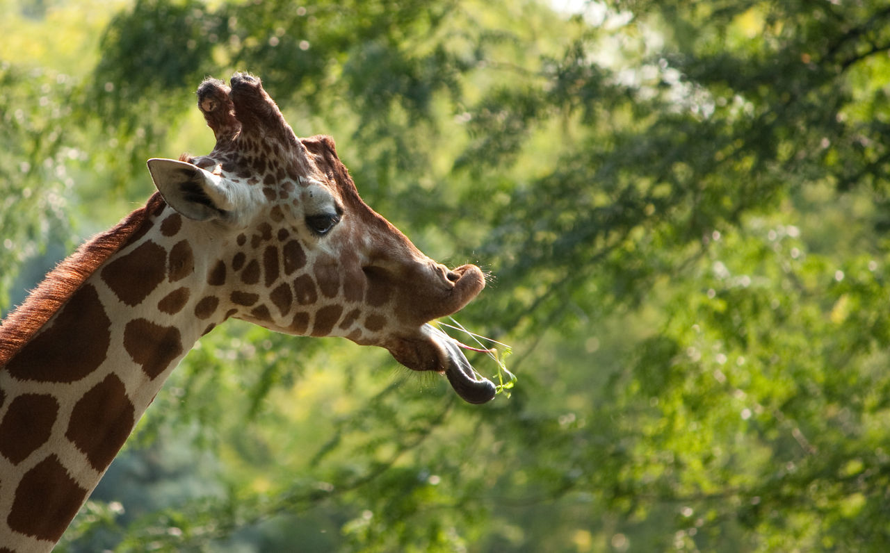 Animal Themes Animal Wildlife Animals In The Wild Close-up Day Focus On Foreground Giraffe Mammal Nature No People One Animal Outdoors Safari Animals Side View Tounge Out  Tree
