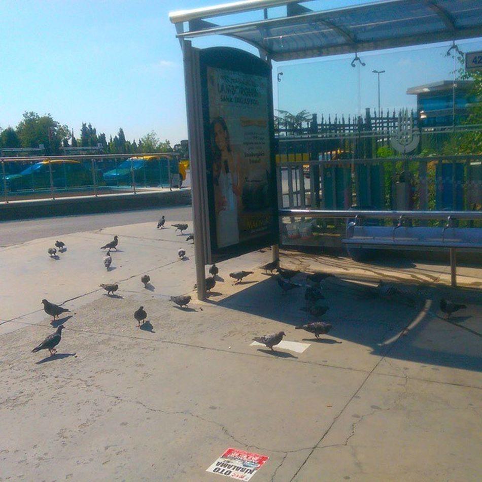 Öfkeli kalabalik otobus bekliyordu... Uçmaktan sıkılan hayvanlar.... Sariyer Haciosman Iett Istanbul guvercin pigeon