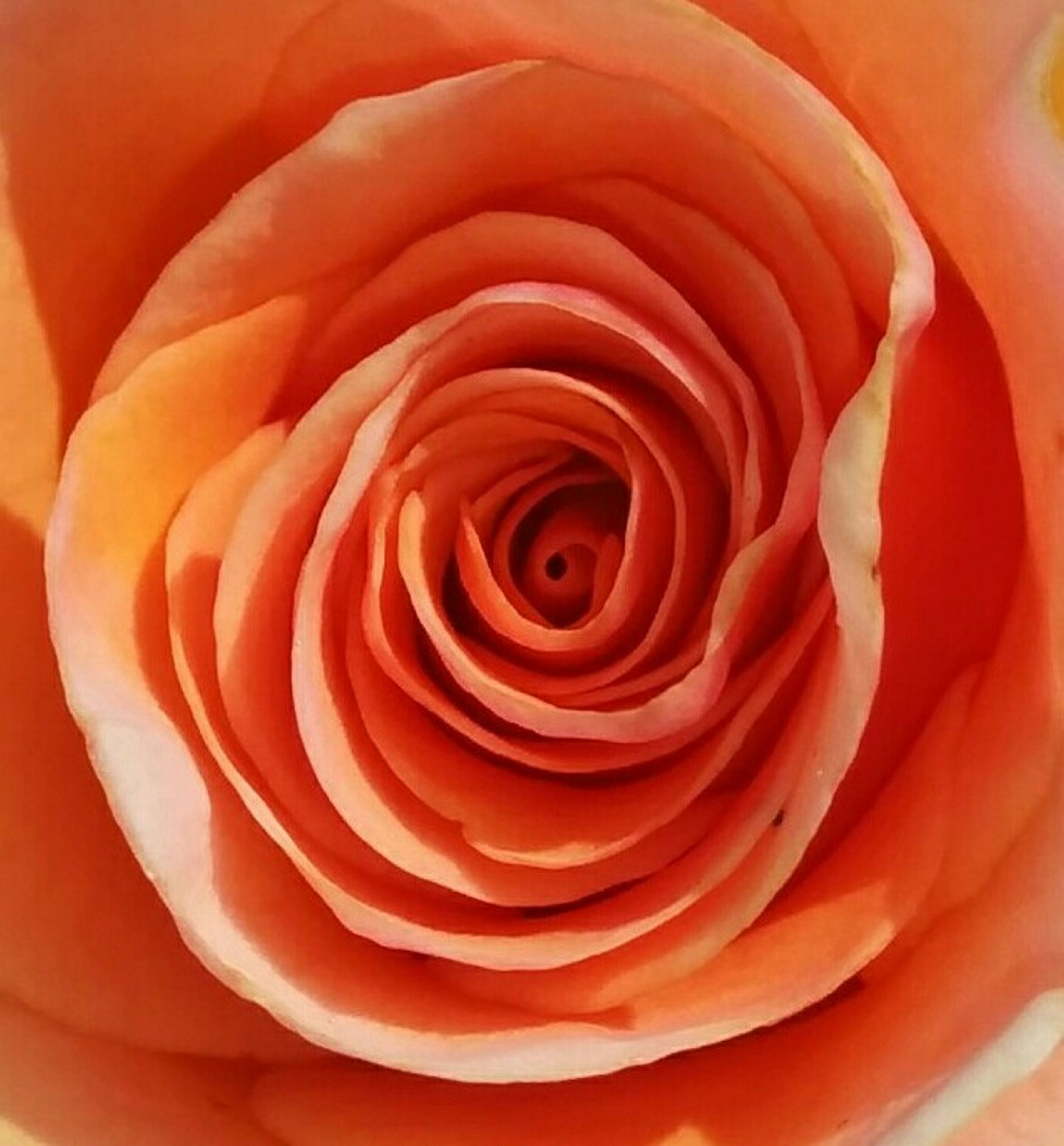flower, petal, rose - flower, freshness, flower head, full frame, fragility, beauty in nature, close-up, backgrounds, single flower, natural pattern, rose, nature, growth, red, pattern, orange color, no people, extreme close-up