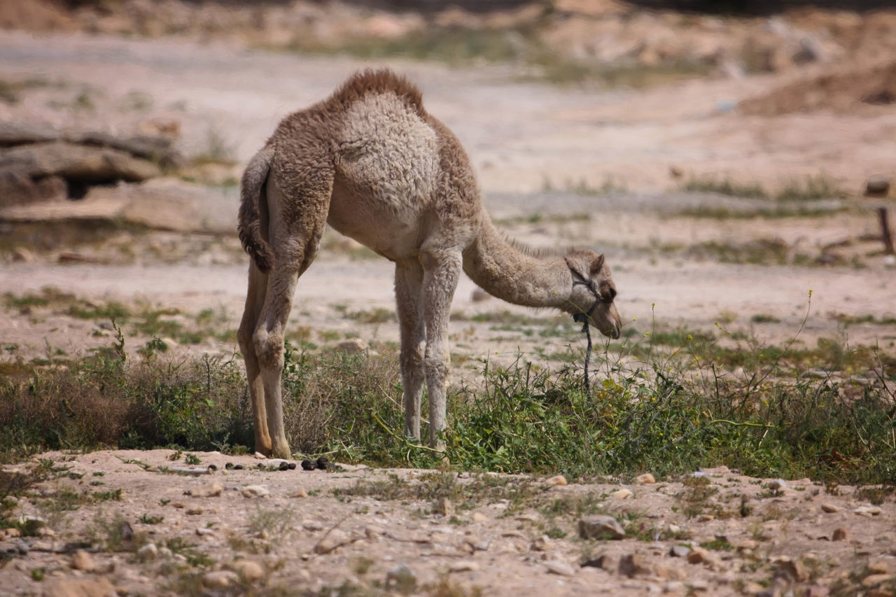 Camel Animal Animal Themes Animal Wildlife Beauty In Nature Camels Day Field Focus On Foreground Full Length Grass Grazing Grazing Camel Harness Hump Landscape Mammal Nature No People Non-urban Scene Outdoors Ride Selective Focus Transportation Transportation Vehicle Wildlife