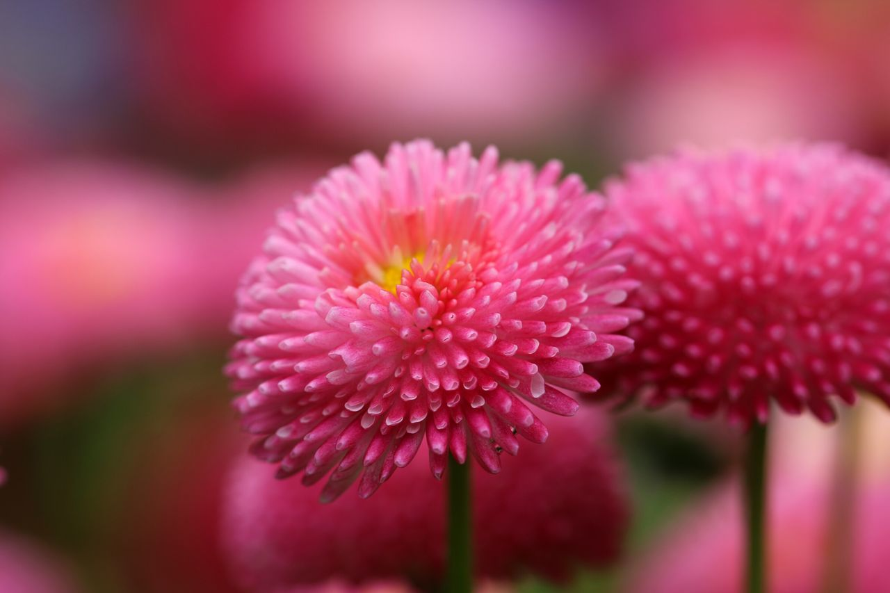 Flower Fragility Petal Freshness Beauty In Nature Nature Flower Head Plant Purple Close-up Pink Color Focus On Foreground No People Day Outdoors Growth Eastern Purple Coneflower